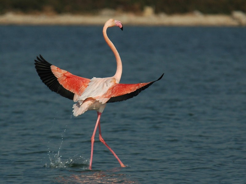 Chance to see the pink flamingos