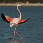 Kans om de rose flamingo's te zien