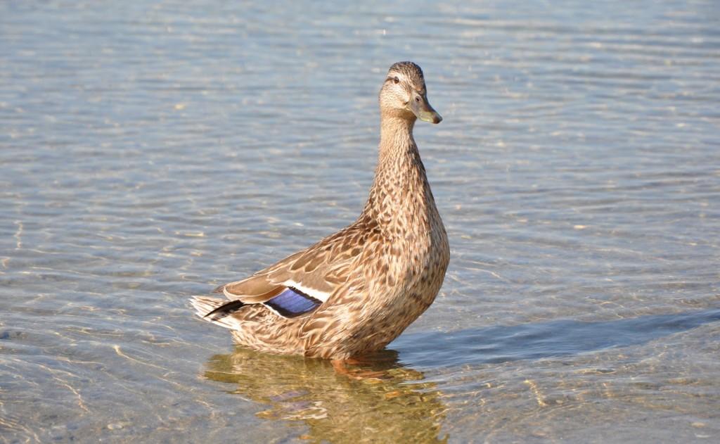 Le long de la rive, parfois des canards sauvages